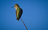 On Watch (http://fineartamerica.com/profiles/robert-bales.ht) Tags: arizona birds foothills forupload haybales hummingbird people photo places projects states calypteanna green trochilidae aves nectar brightplumage hummers southwest wild wildlife nature americanphotograph iridescent male migration bird portrait perched panoramic scenic sensational spectacular awesome magnificent peaceful inspirational canonshooter pollination greetingcards deserthummingbird sonoran mojavedeserts californiacalypteannas wow stupendous superb tranquil robertbales vignette
