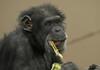 chimpanzee Burgerszoo BB2A6356 (j.a.kok) Tags: chimpansee chimpanzee animal aap ape burgerszoo mammal monkey mensaap pantroglodytes primaat primate africa afrika zoogdier dier