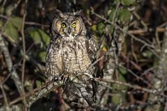 Long-eared Owl / Hibou moyen-duc (shimmer5641) Tags: asiootus longearedowl hiboumoyenduc northernlongearedowl raptor birdofprey owlsfamily britishcolumbiacanada birdsofbritishcolumbia birdsofnorthamerica