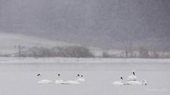 I'm dreaming of a white Christmas.... (Chantal Jacques Photography) Tags: dreamingofawhitechristmas swans christmas wildandfree bokeh depthoffield whitechristmasseries snowypond winterscene whiteswans joyeuxnoel feliznavidad merrychristmas