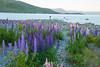 Lupins @ Lake Tekapo (gsreejith) Tags: lake laketekapo tekapo church churchofthegoodshepherd flowers lupin flower sunset mountians newzealand nz visitnz