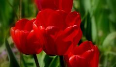 Wiosenne nastroje. (andrzejskałuba) Tags: polska poland pieszyce dolnyśląsk silesia sudety europe panasoniclumixfz200 roślina plant kwiat flower tulipan tulip czerwony red zieleń green garden ogród natura nature