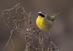 Common Yellowthroat (Hockey.Lover) Tags: commonyellowthroat birds gomespark explore