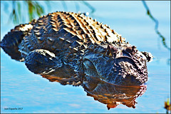 Caiman - Jacarés Urbanos (Juanexpert_) Tags: caiman jacare lagoasanta brazil brasil natgeo wiki nature wild brave animalplanet animal selvagem urbanos urban