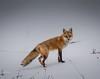 No camo here . . . (Dr. Farnsworth) Tags: camo redfox fox mammal hunting bushes running traversecity mi michigan winter december2017 beautiesbeasts