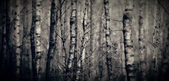 Nature's in rest (Frank ) Tags: pano limburg forest bokeh shallow dof canon europe monochrome birches topf25 topf50 topf100 newyear xma beauty sea green land meadow scene sky cankn eos1d mkiv holland trees wood dog cat love lovely