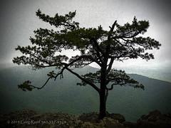 Tree at Ravens Roost 2013 ink outline (Greg Reed 54) Tags: ravensroost blueridgeparkway virginia love appalachianhighlands blueridgemountains trees