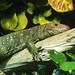 Nashville Zoo 08-21-2016 - Caiman Lizard 1