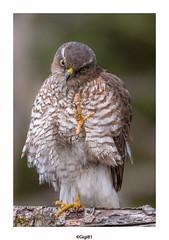 Epervier d' Europe (gilbert.calatayud) Tags: accipiternisus accipitridés accipitriformes epervierdeurope eurasiansparrowhawk bird oiseau busque tarn midipyrénées