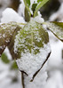 Christmas Day Snowflakes (s.d.sea) Tags: pentax k5iis plants nature plant green garden macro washington washingtonstate pnw pacificnorthwest king county seattle eastside winter snow christmas issaquah klahanie sammamish december
