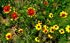 Coreopsis and Blanket Flower (austexican718) Tags: texas native flower centraltexas wildflower yellow orange outdoor pasture meadow grassland sony