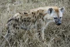 hiena (vitofonte) Tags: hienamanchada hienamoteada crocutacrocuta spottedhyena cria cub serengetinationalpark tanzania africa naturaleza nature natura natureza vitofonte ngc npc