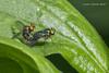 Long-Legged Flies (strjustin) Tags: fly flies longlegged insect bug macro leaf