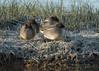 Teal - Anas crecca (Gary Faulkner's wildlife photography) Tags: teal anascrecca