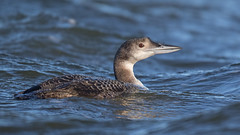 Great Northern Diver (cliveyjones) Tags: greatnortherndiver diver commonloon loon
