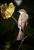 Social Flycatcher Dec17-4460 (justl.karen) Tags: bird birds costarica birding flycatcher socialflycatcher
