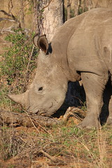 Timbavati Private Nature Reserve - Rhino