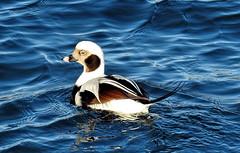 Long-tailed Duck --- Eisente --- Pato havelda (Walkuere123) Tags: eisente patohavelda bird clangulahyemalis longtailedduck migratorybirds animal outdoor water lakeontario canadianbirds nikoncoolpixp900