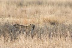African Leopard (Panthera pardus pardus) (BenParkhurst) Tags: africa pattern serengeti mammal benparkhurst serengetinationalpark outdoor holiday animal 2017 wildlife pantheraparduspardus predator africanleopard cat tanzania grass carnivore wild safari