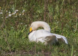 Whooper Swan ( Cygnus cygnus )