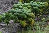 Grünkohl (Brassica oleracea Kulitvar); Bergenhusen, Stapelholm (2) (Chironius) Tags: stapelholm bergenhusen schleswigholstein deutschland germany allemagne alemania germania германия szlezwigholsztyn niemcy rosids malvids brassicales kreuzblütlerartige brassicaceae kreuzblütengewächse brassicaoleracea kohl laub