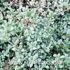 Lampranthus deltoides-4 (SUBENUIX) Tags: aizoaceae lampranthusdeltoides suculentas subenuix subenuixcom planta suculent suculenta botanic botanical