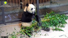2017_12-21b (gkoo19681) Tags: meixiang beautifulmama sopretty proudmama fuzzywuzzy adorableears bootime feetsies toofers perfection foreveryoung toocute meltinghearts contentment ccncby nationalzoo