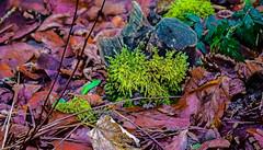 17-12-25 moos grün laub braun dsc09053-1 (u ki11 ulrich kracke) Tags: baumstumpf blattalt moos nah sh stillleben zweigalt
