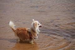 IMG_1833-2 (PM Clark) Tags: chihuahua pure bred beach copacabana nsw central coast australia dog pet cute