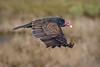 Turkey vulture in the low flight (bodro) Tags: bolsachica bird birdinflight birdphotography ecologicalreserve lowflight shallows turkeyvulture vulture wetlands wingsdown
