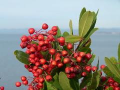 toyon (Jef Poskanzer) Tags: toyon christmasberry californiaholly heteromelesarbutifolia geotagged geo:lat=3800985 geo:lon=12230408 t