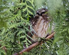 123117 PeekABoo Little Owl (wildcatlou) Tags: nisquallynationalwildliferefuge nature wildlife bird raptor winter owl sawwhetowl tree cedar thuja