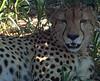 Cheetah after lunch (bggillette) Tags: worldtrip travelingalphabet gillettefamilytravel