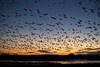 New Year's Dawn flight (ztraws2001) Tags: votogs52 nikond850 sunrise votogsweekly snowgeese newyearsday bosquedelapache