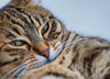 For Sure, Let's Play (frederic.gombert) Tags: cat pet macro eye eyes look animal play playful game color sweet cute colors brown bengal