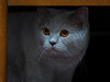 Did someone mention food? (Jens Haggren) Tags: zoe cat katt britishshorthair brittiskkorthår lilac lila happycaturday
