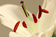 Lily (AngharadW) Tags: angharadw brown green white petal stamen pollen lily