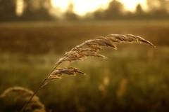 *** (pszcz9) Tags: przyroda nature natura zbliżenie closeup pejzaż landscape rosa dew wschódsłońca sunrise poranek morning bokeh beautifulearth sony a77 jesień autumn fall
