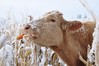 Published in the Western Producer - December 7, 2017 (Jeannette Greaves) Tags: corn feed critters greaves farm 2017 deer rabbits bunnies cows bluejay winter snow westernproducer jspubpic