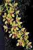 Cymbidium Lloyd's Persistence 'Ori Gem' HCC/AOS (Dylan's Orchids) Tags: cymbidium lloyds persistence ori gem pee wee x peter pan 4n