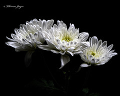 Three White Mums 1213 Copyrighted (Tjerger) Tags: nature beautiful beauty black blackbackground bloom blooming blooms closeup fall flora floral flower flowers gray green macro mum plant portrait three trio white wisconsin mums natural