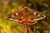 2017 Moths 2 - Emperor Moth (Saturnia pavonia) (gcampbellphoto) Tags: emperor moth saturnia pavonia insect invert nature wildlife north antrim ballycastle northern ireland gcampbellphoto macro animal