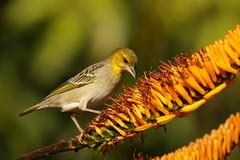 Ploceus cucullatus (Dindingwe) Tags: ploceuscucullatus tisserin tisseringendarme weaver villageweaver ploceidae mlilwane swaziland