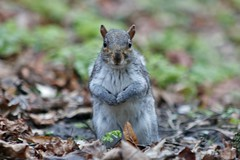 """""""Any spare change please?""""..... (markwilkins64) Tags: squirrel squirrels bokeh canon nature wildlife cute"""