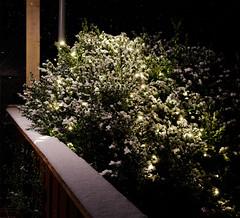 Schnee (hermannauinger) Tags: schnee winter licht landschaft weihnachten grün weihnacht busch outdoor