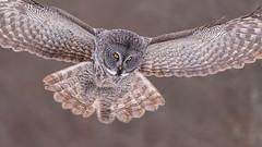 Descent (jrlarson67) Tags: great gray grey owl saxzim minnesota flight wings wingspan closeup hunting prey raptor animal bird nature wildlife strix nebulosa chouette lapone cendrée