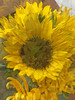 Sending Some Sunshine (soniaadammurray - Off) Tags: iphone manipulated experimental collage abstract flowers yellow sunshine send love warmth beauty 2017