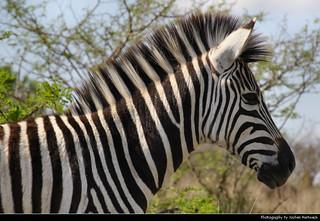 Zebra, Hluhluwe-iMfolozi-Park, South Africa
