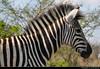 Zebra, Hluhluwe-iMfolozi-Park, South Africa (JH_1982) Tags: zebra cebra zèbre 斑馬 シマウマ 얼룩말 зебры animal wildlife nature tier black white close up closeup head portrait hluhluweimfolozipark hluhluwe imfolozi park national nationalpark np pn parque nacional parc nazionale 赫卢赫卢韦–印姆弗鲁兹公园 landscape scenery scenic south africa rsa za südafrika sudáfrica afrique sud sudafrica 南非 南アフリカ共和国 남아프리카 공화국 южноафриканская республика جنوب أفريقيا