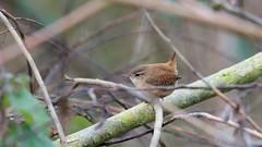 Wren (Troglodytes troglodytes) (jhureley1977) Tags: birds birding birdsofbritain britishbirds ashjhureley avibase naturesvoice bbcspringwatch rspbbirders rspb rspbryemeads ashutoshjhureley